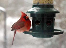 CardinalatFeeder