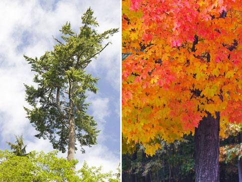 Maple-Evergreen-Tree